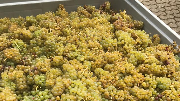 The Magic of Riesling