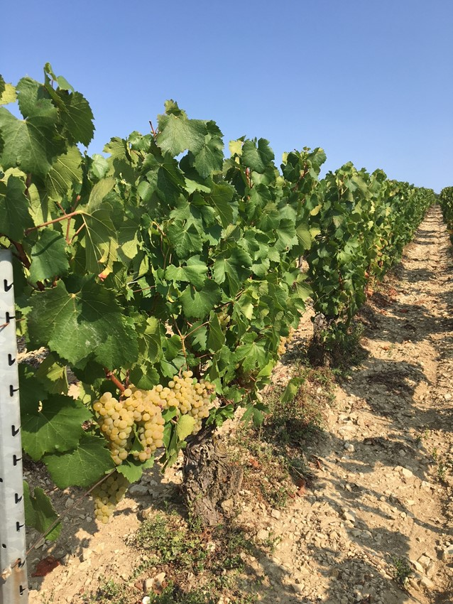 La Chablisienne: chardonnay in the Chateau Grenouilles Grand Cru vineyard