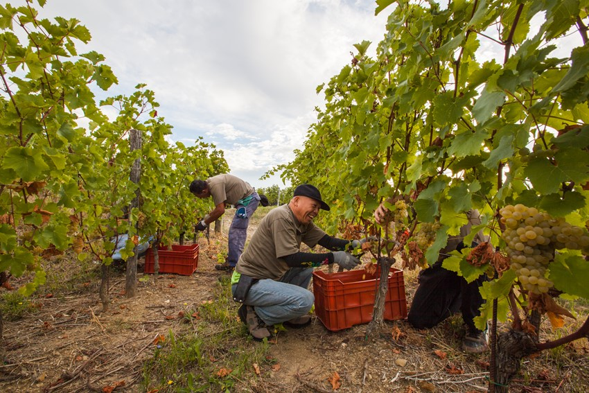 Picking at Bastianich